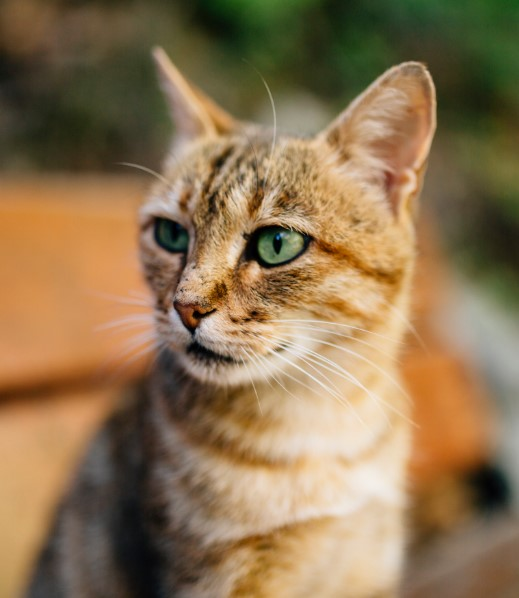 Cyprus Cat - all you want to know about Cyprus Cats