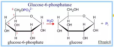Conversion of Glucose 6-phosphate to Glucose