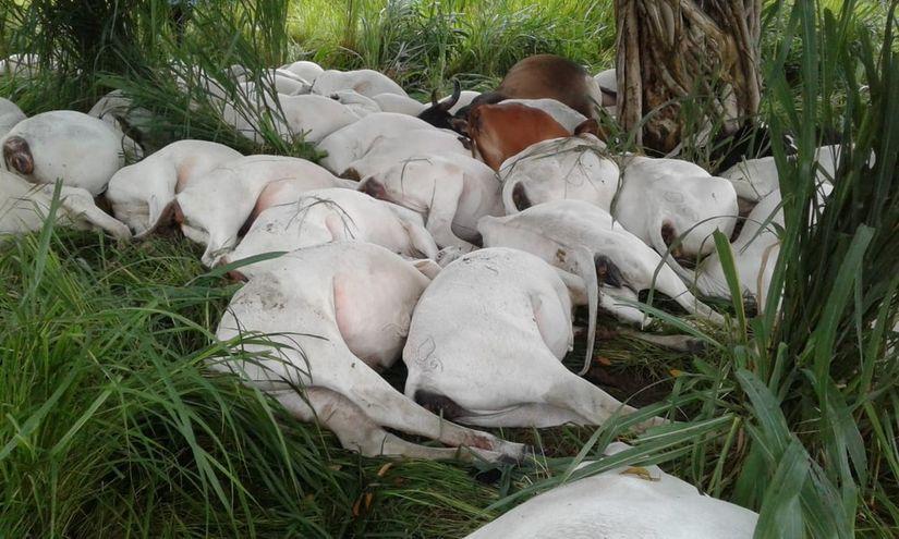 Raio mata mais de 40 novilhas em fazenda; prejuízo estimado é de R$ 70 mil