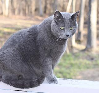 لقط الروسي الازرق