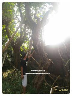 harga pohon kamboja besar