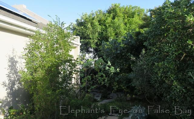 Tiny urban forest in our False Bay garden Bauhinia, Dombeya, carob, Hibiscus, Coprosma, Tarchonanthus