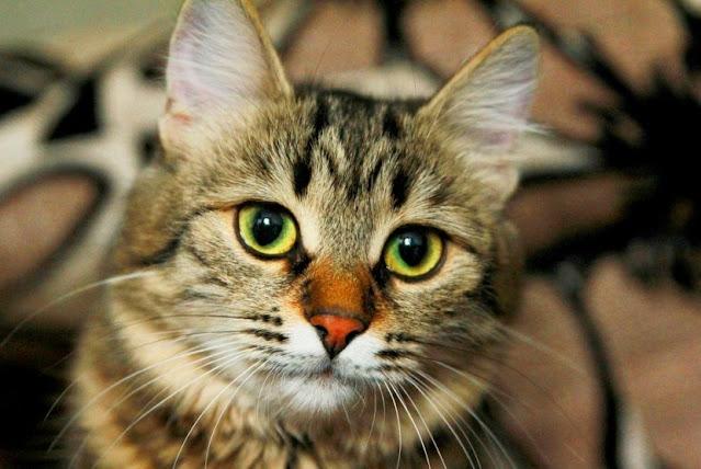 download gambar kucing keren