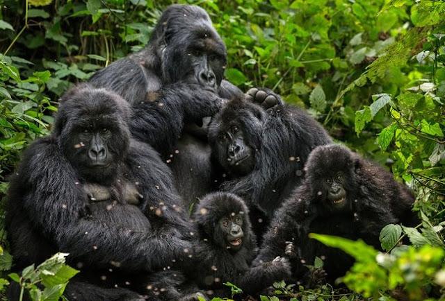 Gorilla Monkey Silverback Wildlife Animals
