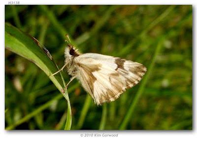 Mariposa saltarina blanca (Heliopetes omrina)