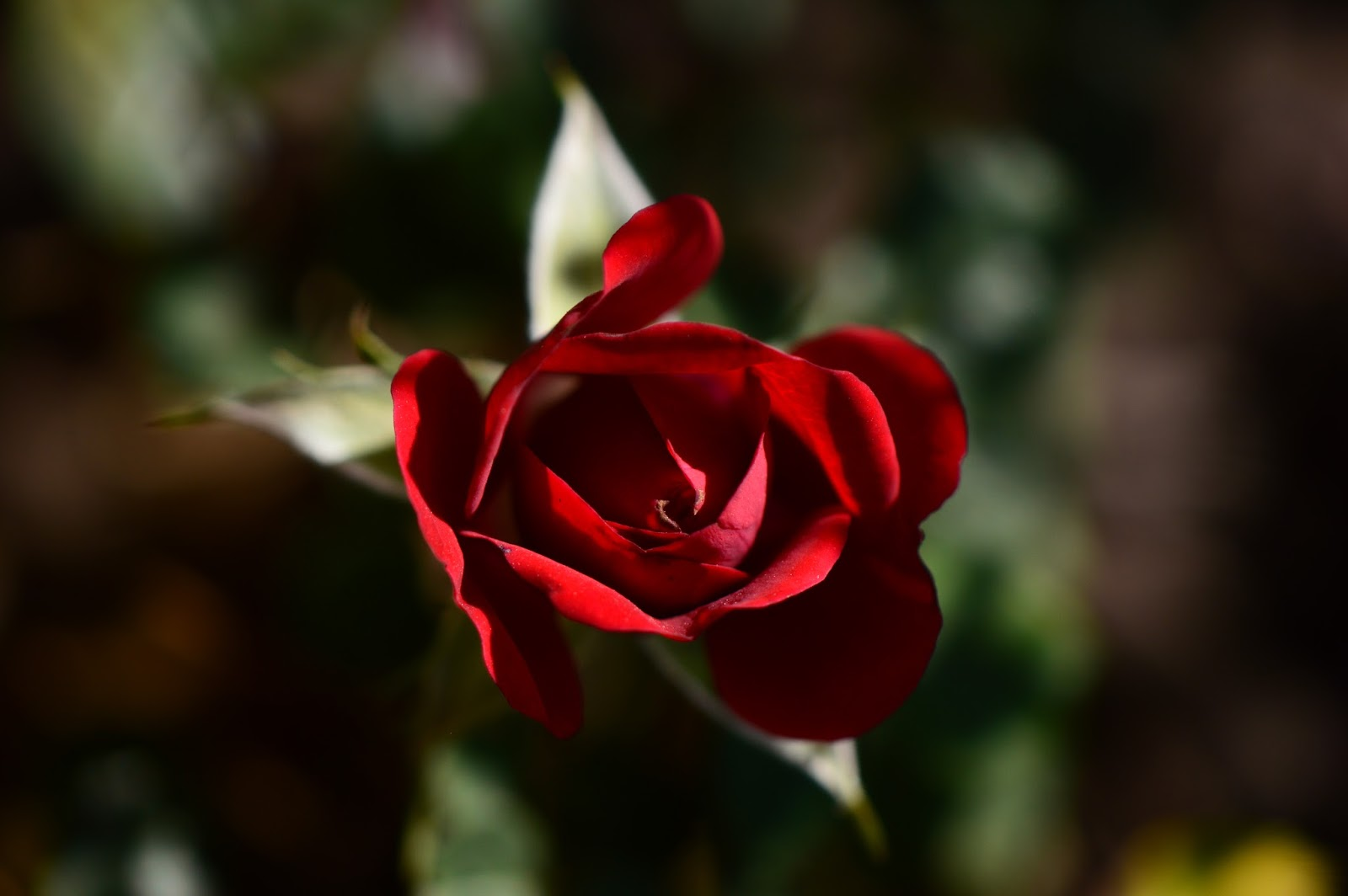 "Miniature Rose ""Daniela"", wordless wednesday"