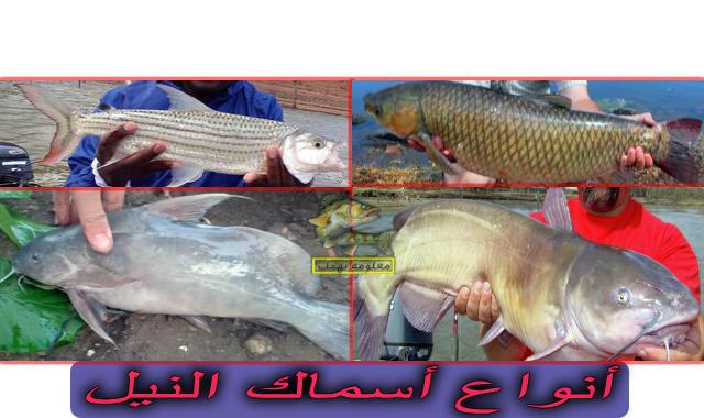 انواع الاسماك فى مصر