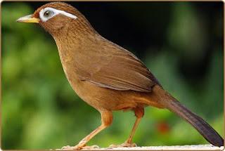 Hwamei menjadi salah satu burung favorit di Singapura