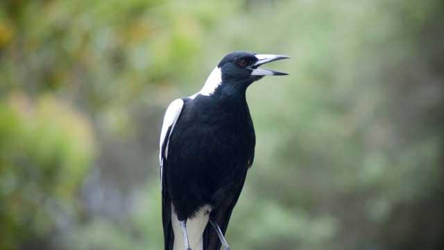 Magpie Australia