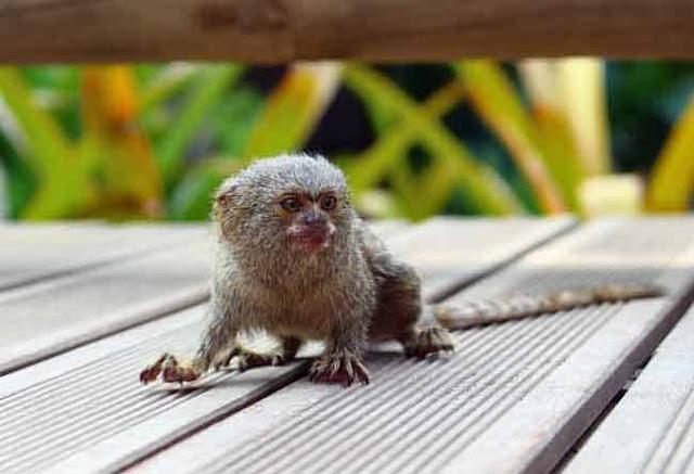 petits-singes-avec-grand-yeux