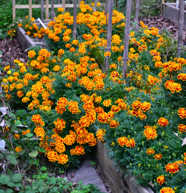 marigolds, http://growingdays.blogspot.com