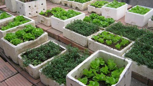 những điều cần biết khi trồng rau trong thùng xốp