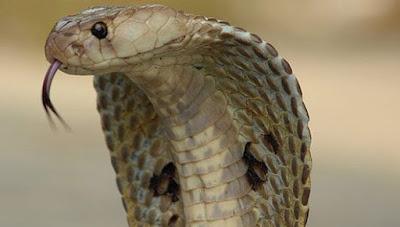rắn lô đề