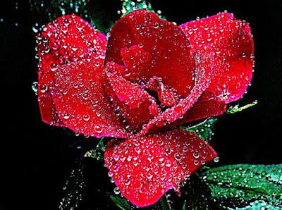 Air Mawar untuk Rambut Indah dan Harum Mewangi