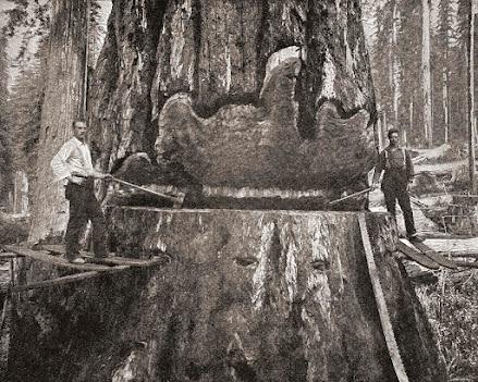 boscaioli tagliano enorme tronco