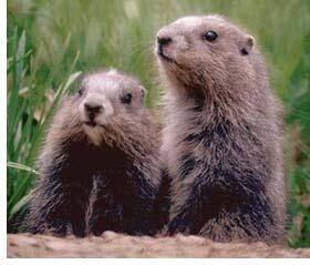 http://www.borealforest.org/zoo/groundhog.jpg