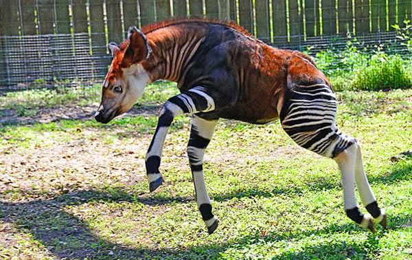 Animals You May Not Have Known Existed - Okapi