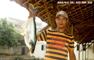 Master Essen Ikan Patin Indukan