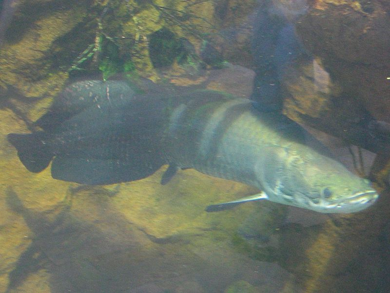 ikan arapaima indonesia