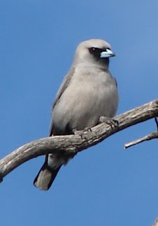 black-faced woodswallow (Artamus cinereus). Spesies burung ini termasuk dalam famili Artamidae