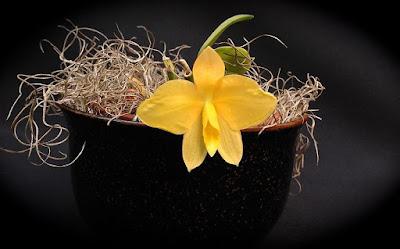 Orquídea Sophronitis coccinea amarela 'Sol'
