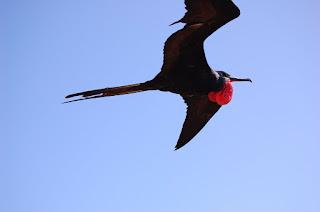الفرقاط Frigate Bird
