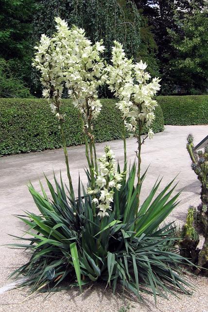 Yucca flaccida - Royal Botanic Garden, Madrid