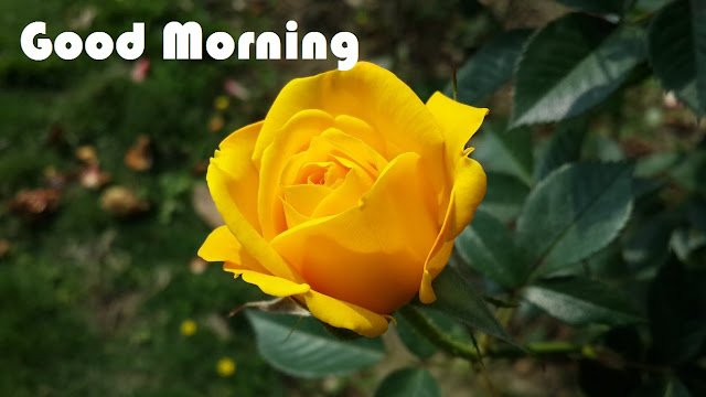 Good Morning Flowers Images Free Download