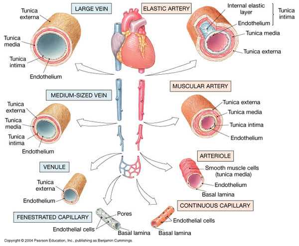 Principles of Human Anatomy and Physiology: CHAPTER 18 ...