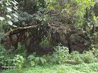 Abandoned mango plantation - Senator Fong's Plantation and Gardens, Oahu, HI