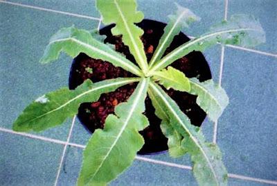 daun tanaman tempuyung