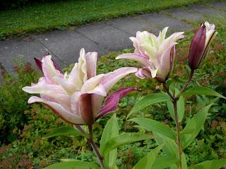 lilja Annika kukkii