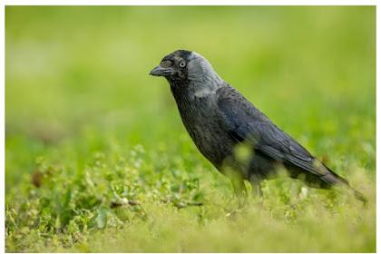 Kisah Burung Gagak Versi Kak Rasyid