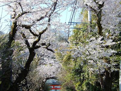 荏柄天神社参道の桜