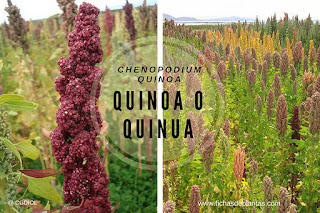 Chenopodium quinoa, Quinua o Quinoa