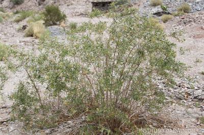 flora nativa chilca amarga