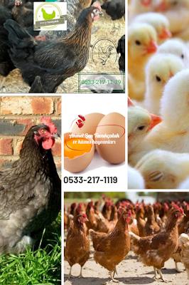 Satılık tavuk civciv edirne