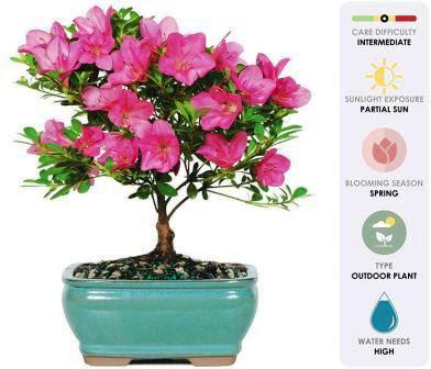 Bonsai tree online
