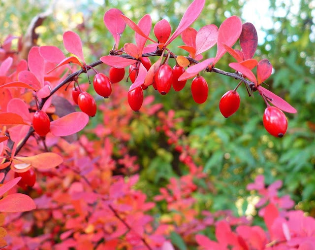 The barberry of the Albanian lands, the strong healer with many natural values