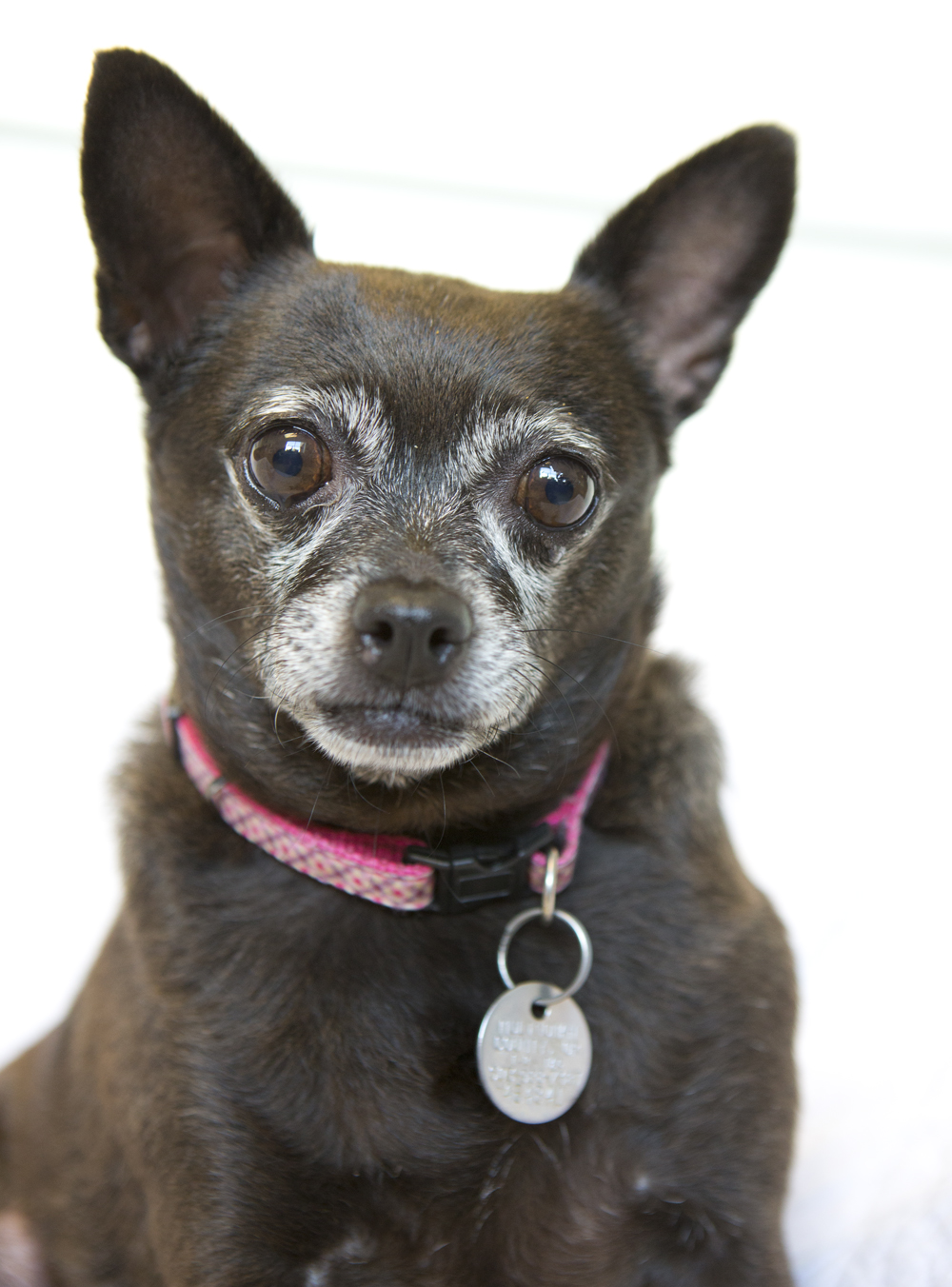 chubby chihuahua shelter dogs of portland quot missy quot the perfect stoic 6733