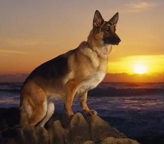 raza de perro pastor aleman
