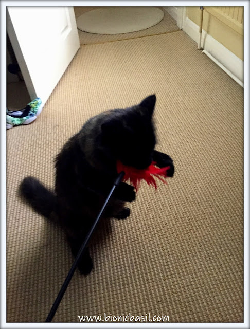 Cat playing with feather tickler, Pandora, torti cat