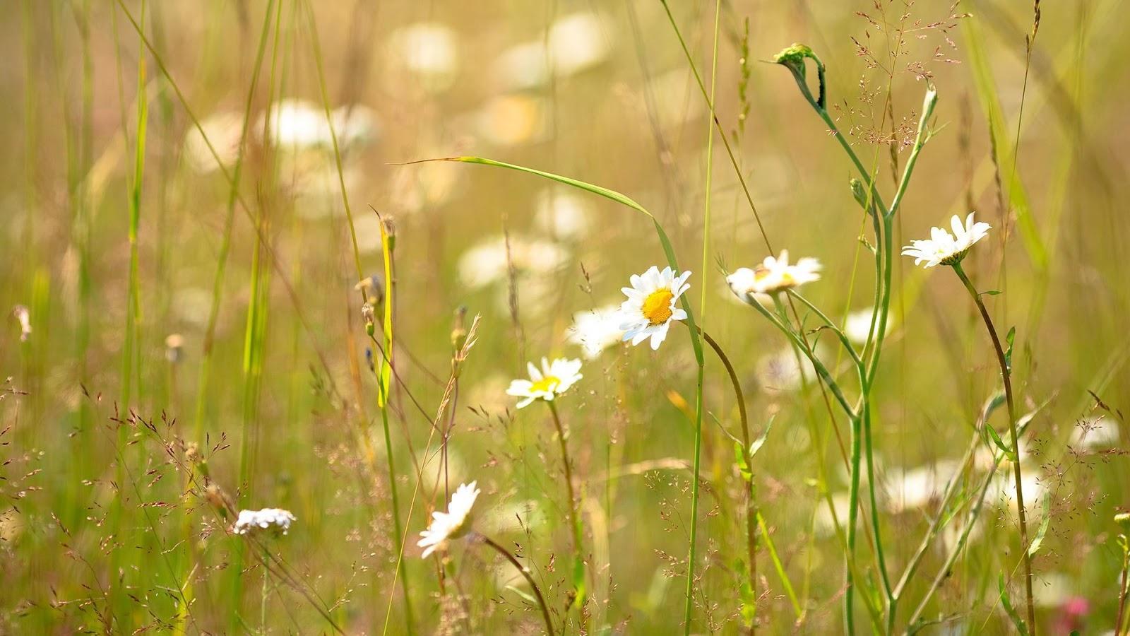 Hình nền những bông hoa cúc trắng