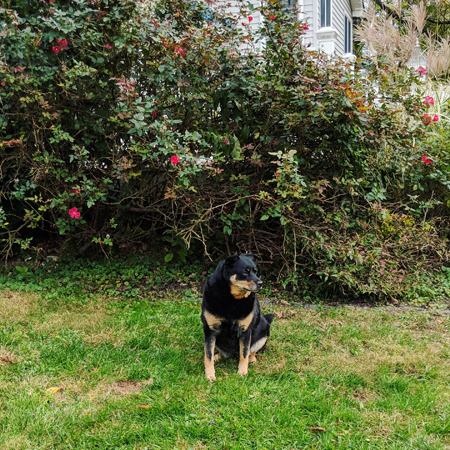 image of Zelda the Black and Tan Mutt sitting in the garden in front of a pink flowering bush with her head turned to one side
