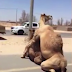 Lobatan! See two camels mating publicly in the middle of a desert motorway in Dubai