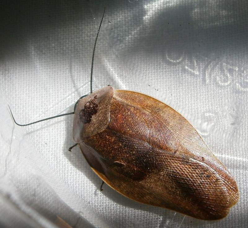 Hisserdude's Roaches - Page 2 G.lurid%25238