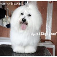 coton_de_tulear_figaro_dingo_psarna