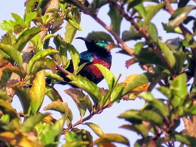 Birds in Uganda: Marico Sunbird