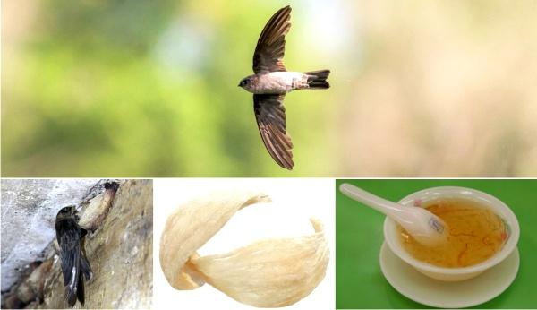 manfaat sarang burung walet untuk kesehatan anak
