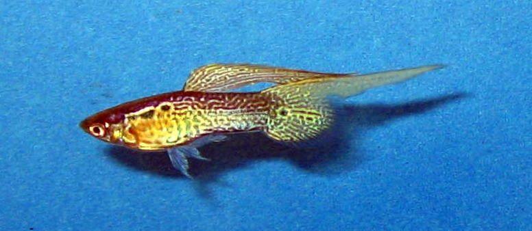 Gambar Bentuk Ekor Ikan Guppy Top swordtail Guppy (Poecilia reticulata)